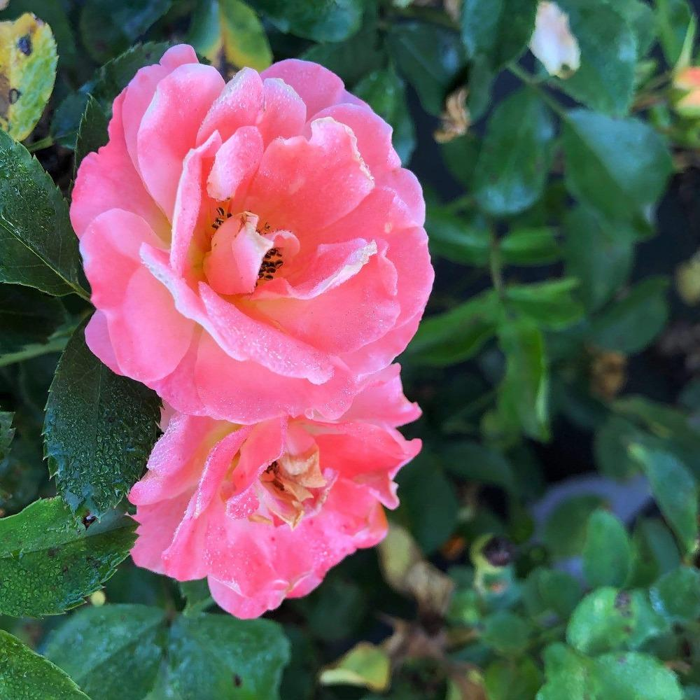 rose plants for sale